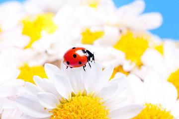 Ladybug on white flowers.