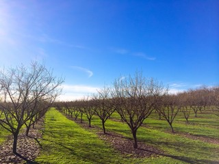 Newly Planted Filbert Tree Orchard