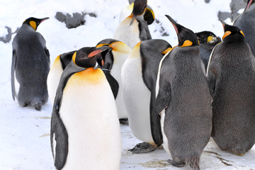 King Penguins Colony in winter stay together with their group. The leader of penguins stand in front for guard their company, at Sapporo in Hokkaido, Japan