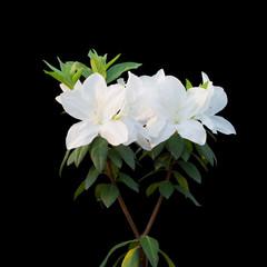 White azalea isolated on black background