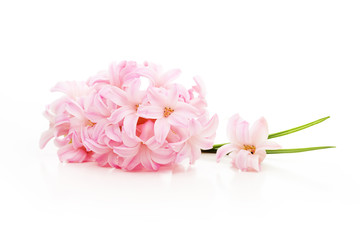 Spring pink flower isolated on white background.