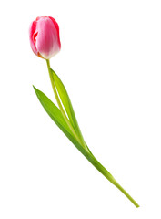 Spring flower pink tulip isolated on white background.
