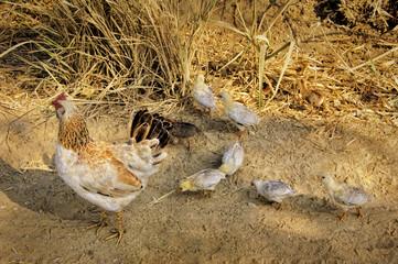 Chicks Following Mother Hen