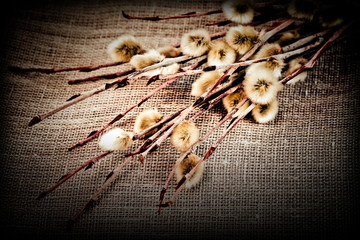 Pussy willow. Photo in retro style