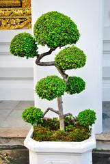 Bonsai tree in wat pho temple, Bangkok
