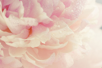 pink peony, close-up