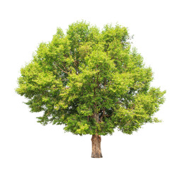 Irvingia malayana also known as Wild Almond