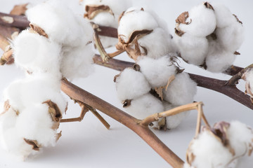 branches of cotton