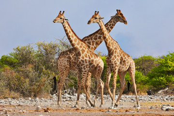 three giraffes walking in Etosha National Park