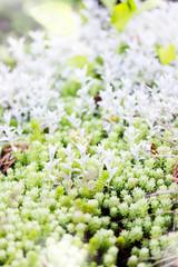 sedum, ground cover plant