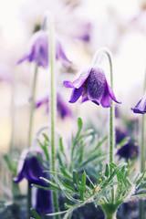 hellebore, purple flower