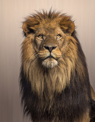 Lion looking up, Panthera Leo on brown background