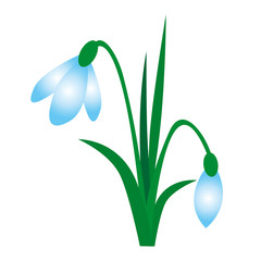 beautiful spring white snowdrop with green leaves