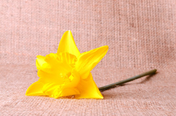 Yellow narcissus on sackcloth background
