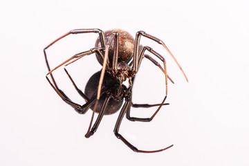 Australian Female Redback Spider walking towards the camera