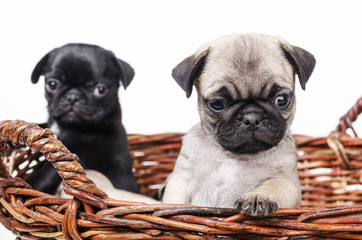 Two pug in the basket.