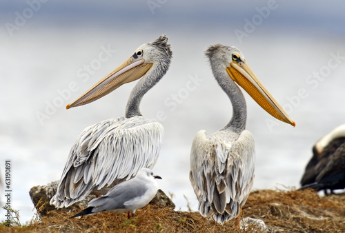 Fototapete Pelican