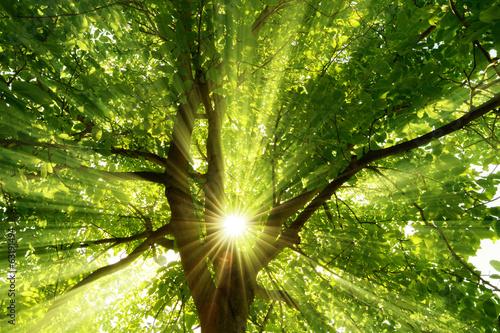 Wall mural Sonne strahlt explosiv durch den Baum