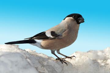 Bullfinch female on snow top
