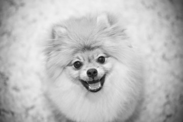 black and white photo of the dog Spitz