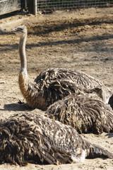 Wall Murals Ostrich Struisvogel