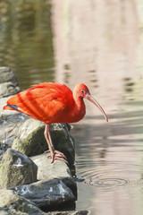 Poster Parrot Rode Ibis