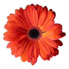 Orange gerbera.