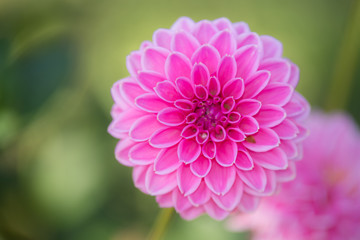 Close up of Pink Dahlia flowers on blurry background