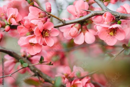Fototapete Spring Blossoms