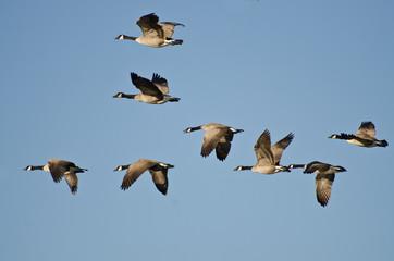Large Flock of Geese Flying in Blue Sky
