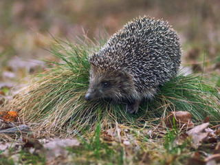 Northern white-breasted hedgehog