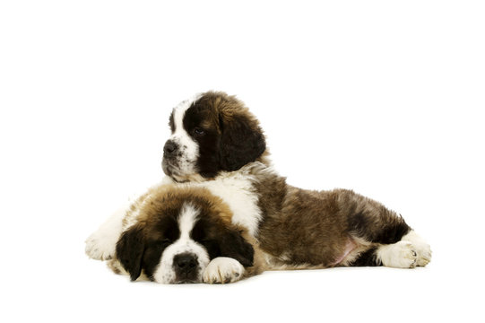 St Bernard puppies isolated on white