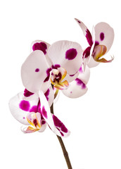 Fototapete - Beautiful orchid on white background
