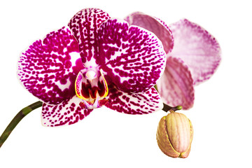 Wall Mural - Beautiful orchid on white background