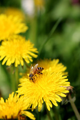 Bee on the Dandelion