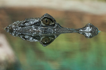 Krokokil