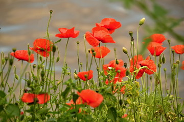 Papaver rhoeas - field poppy
