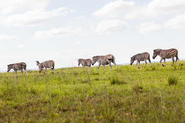 Buck in nature outdoor safari reserve park in Africa