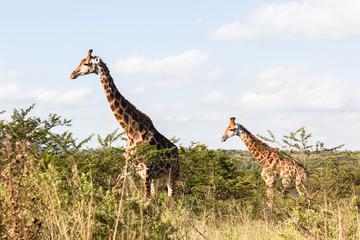 Giraffe in nature outdoor safari reserve park in Africa