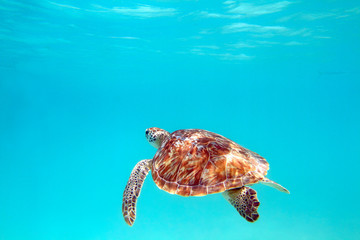 Turtle, underwater shot, shallow focus, Riviera Maya