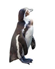 penguin  on white