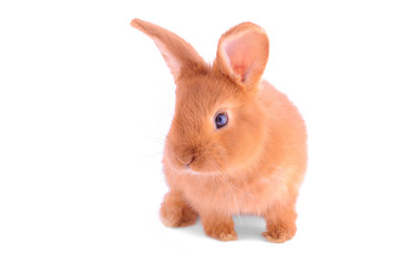 Baby bunny isolated on white background