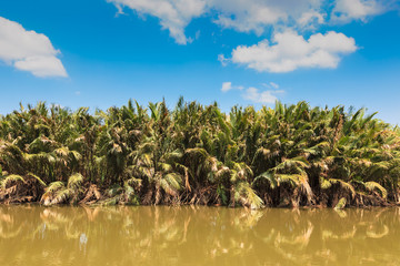"""""""Nypa fruticans"""" or """"nipa palm"""", in mangrove and blue sky"""