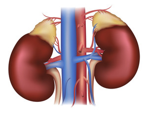 Kidneys and adrenal glands, blood supply