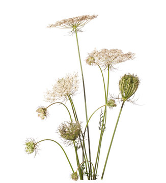 Bouquet of wildflowers (wild carrot) isolated on white.