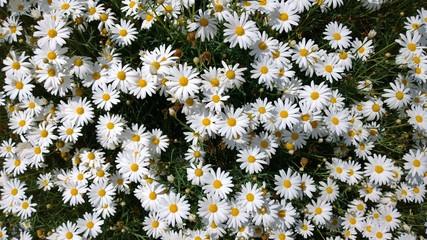 Daisies, flowers