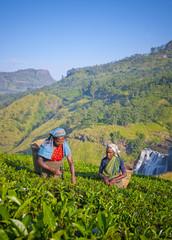 Sri Lankan Women Picking Tea Leaves