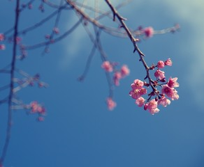 Cherry blossom tree with clear sky, vintage color background