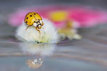 Macro portrait of ladybird or ladybug with reflections