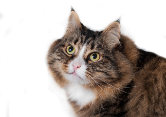 siberian cat isolated on white background
